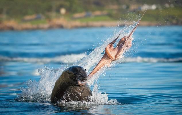 海豹章鱼激烈厮杀上演生死大战