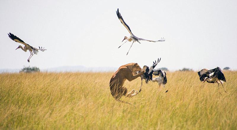 母狮腾空捕食白鹤一幕