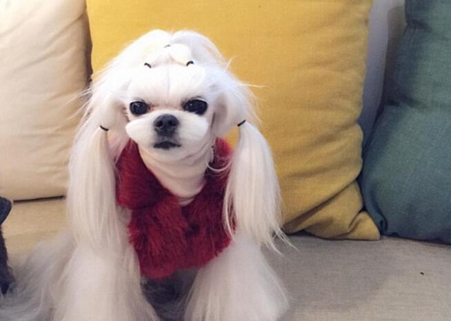 马尔济斯犬走红网络 发型精致引人羡慕