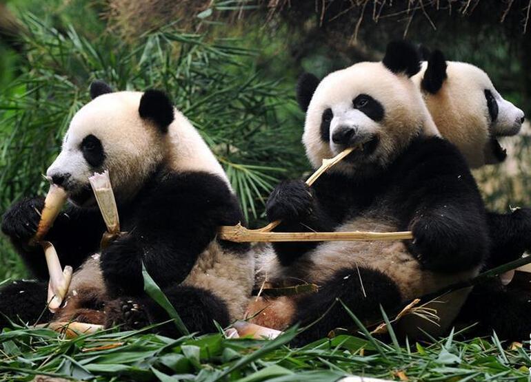 全球唯一大熊猫三胞胎断奶