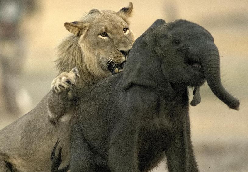 津巴布韦小象与象群走失 惨遭小狮子锁喉捕杀