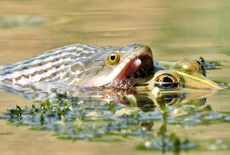 印度水蛇生吞牛蛙:艰难下咽成双头怪兽