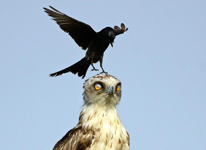 心里很窝火!老鹰遭乌鸦欺上头 脑袋变停机场