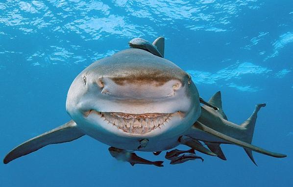 美雌性鲨鱼终日面带微笑:似卡通人物