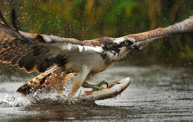 英鱼鹰双爪扎进鱼身绕圈飞 庆祝捕猎成功