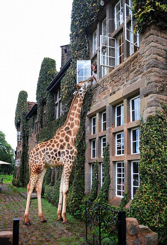 温馨!肯尼亚游客从二楼喂食长颈鹿