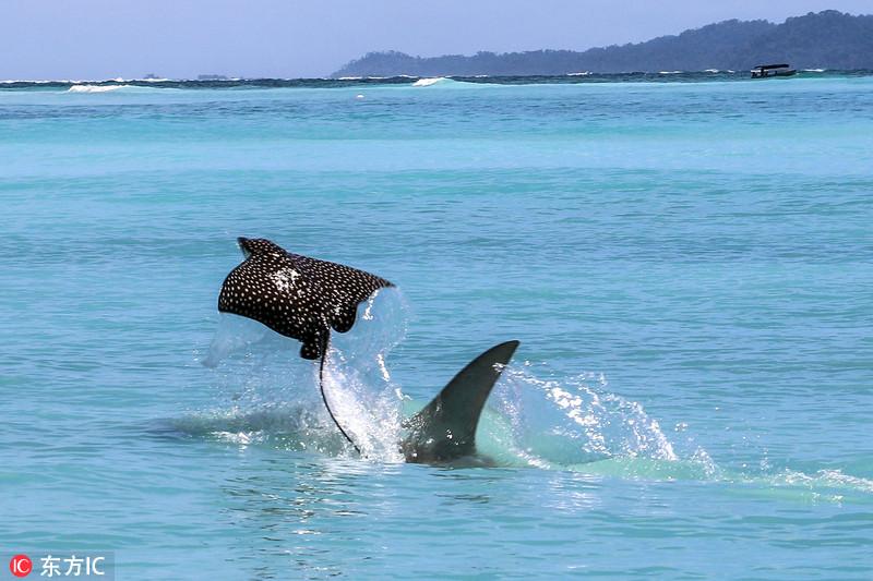 """鲼鱼遭锤头鲨追杀 出水求生变""""飞鱼"""""""