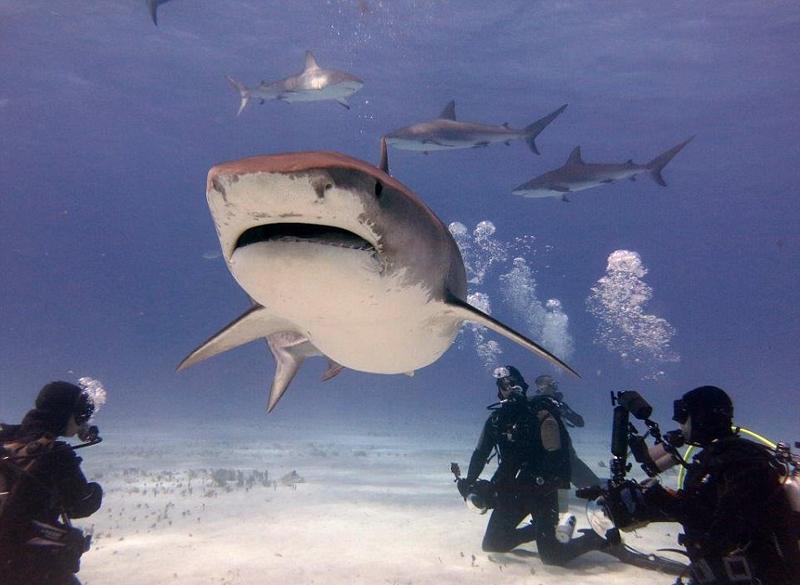 """美潜水员海底与凶猛鲨鱼""""亲密接触"""""""