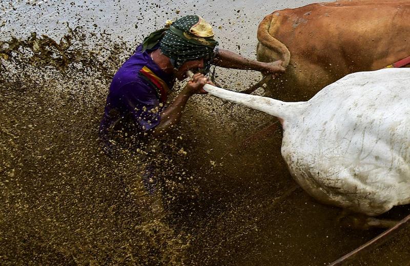 印尼举行奔牛赛 参赛者为夺冠咬牛尾