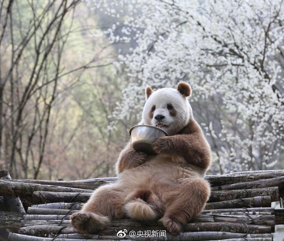 世界唯一活体棕色大熊猫七仔惬意撒欢