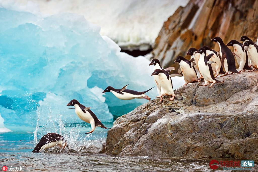 企鹅南冰洋排队跳水 前赴后继画面又萌又美