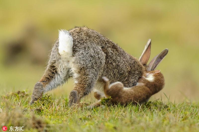 矮子的逆袭!英国白鼬猎杀大野兔