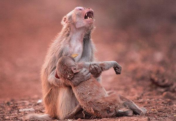 印母猴抱小猴嚎啕大哭 场面令人心碎