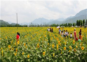 千亩葵花向阳开