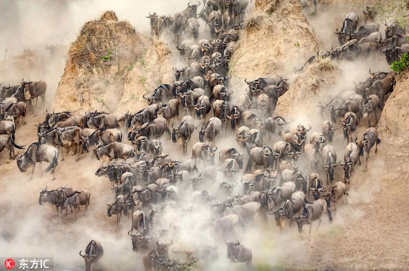 肯尼亚角马大迁徙 壮观若千军万马