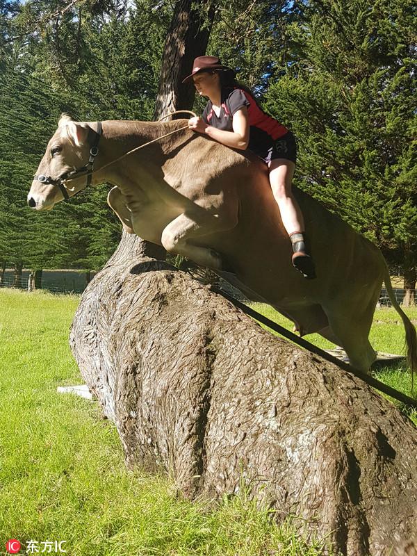 女子训练奶牛跨越跨1米高障碍物