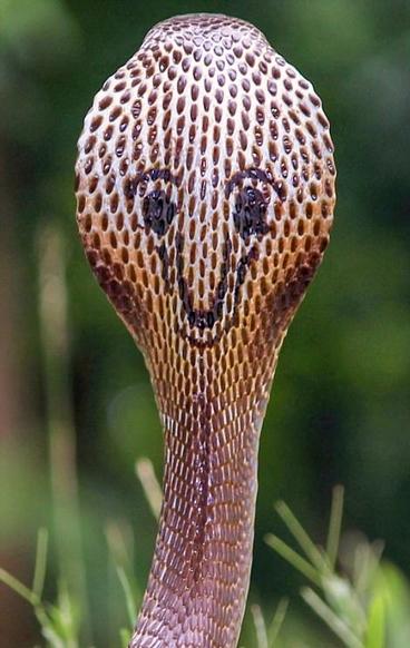 """奇特!印度眼镜蛇背部斑纹似""""咧嘴笑"""""""