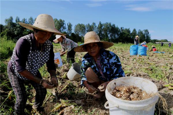 采挖红芽芋