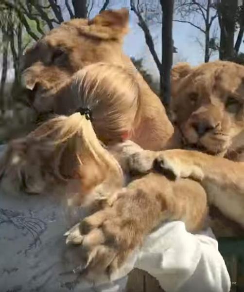 瑞士狮子7年后再见幼时饲养者 紧紧拥抱画面暖心