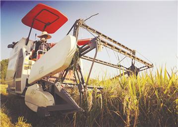 收割成熟晚稻