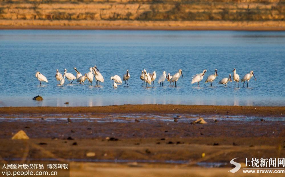 鄱阳湖迎来大批冬候鸟