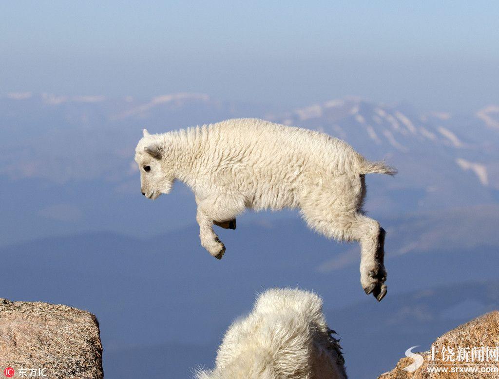 丝毫不恐高!小羊羔海拔4000米山上自由跳跃