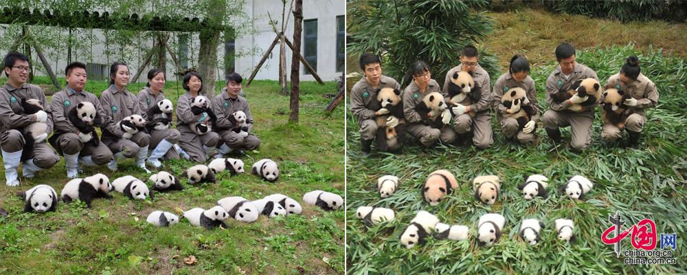 36只2017年新生大熊猫宝宝集体亮相