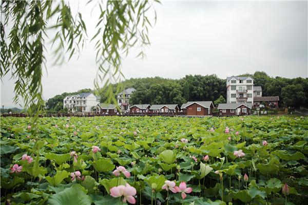 横峰县梧桐畈荷博园荷花开放