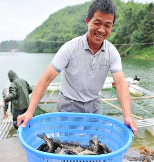 鳜鱼肥 农民笑