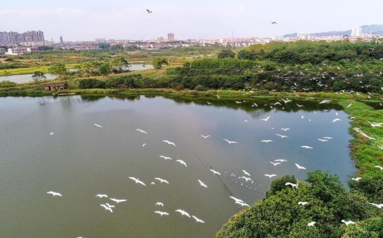 江西金溪:白鹭翩跹生态美