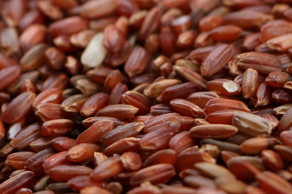 钦州农夫抢收海红米