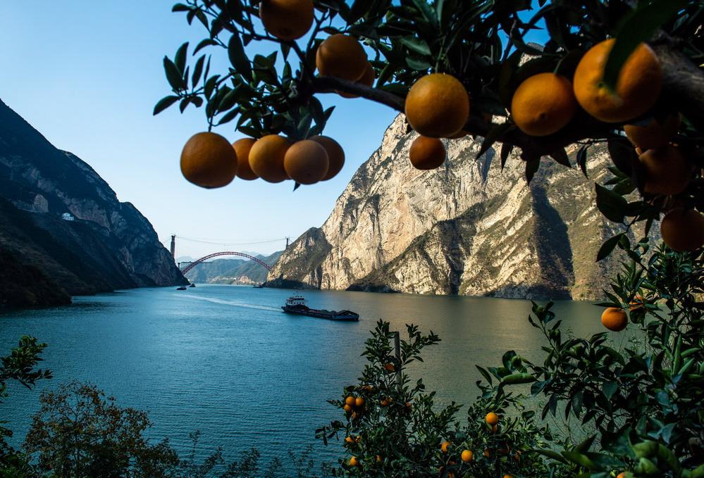 湖北秭归脐橙丰收上市