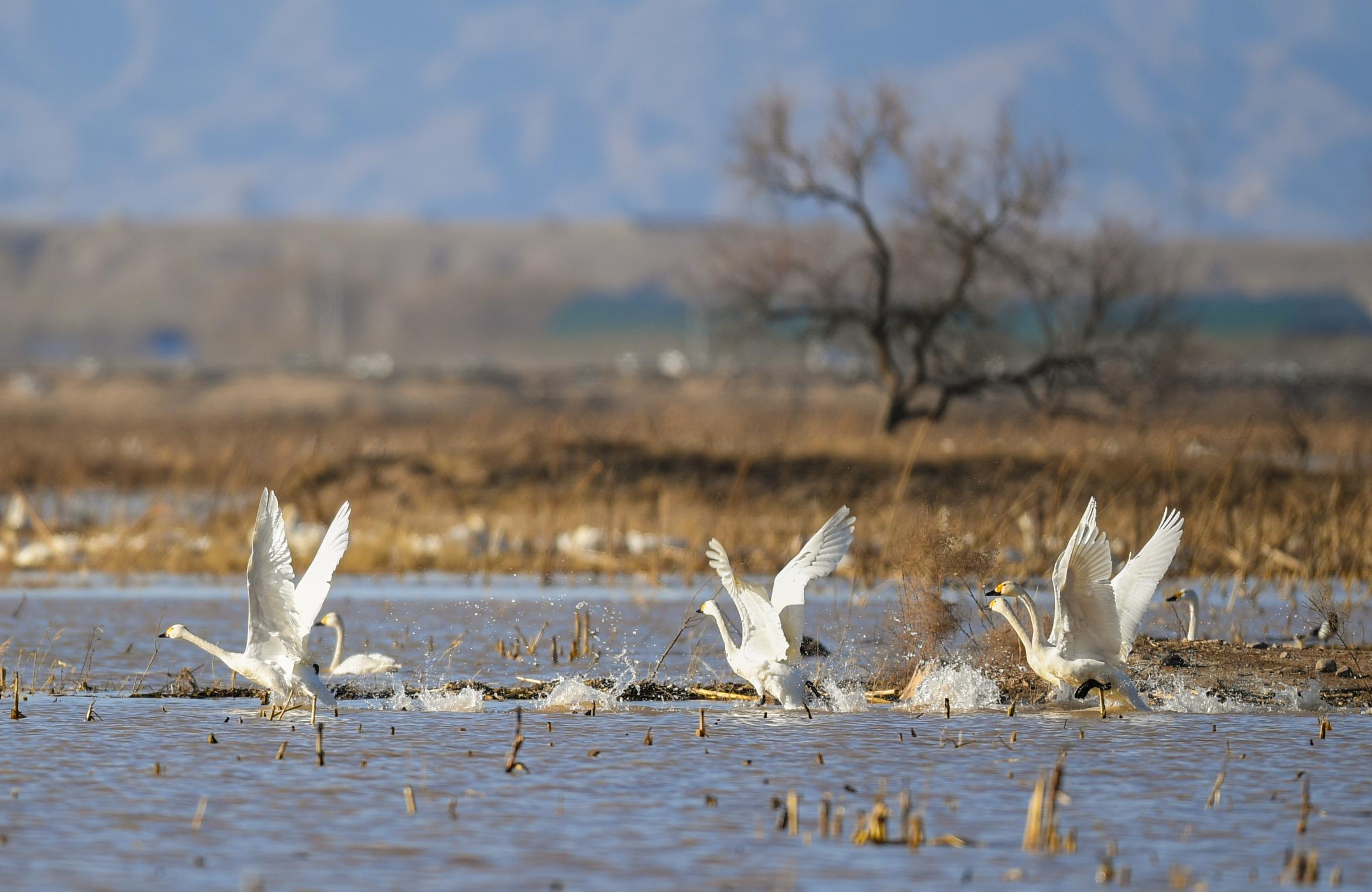 黄河湿地引天鹅