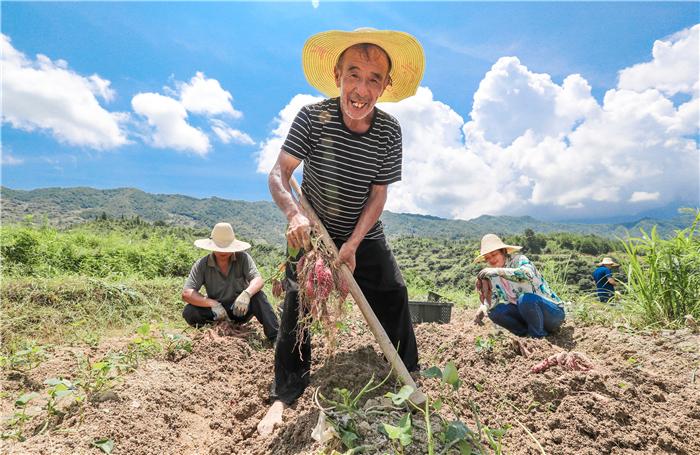 采挖小香薯