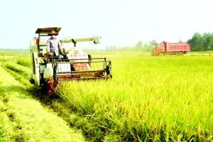 喜收再生稻