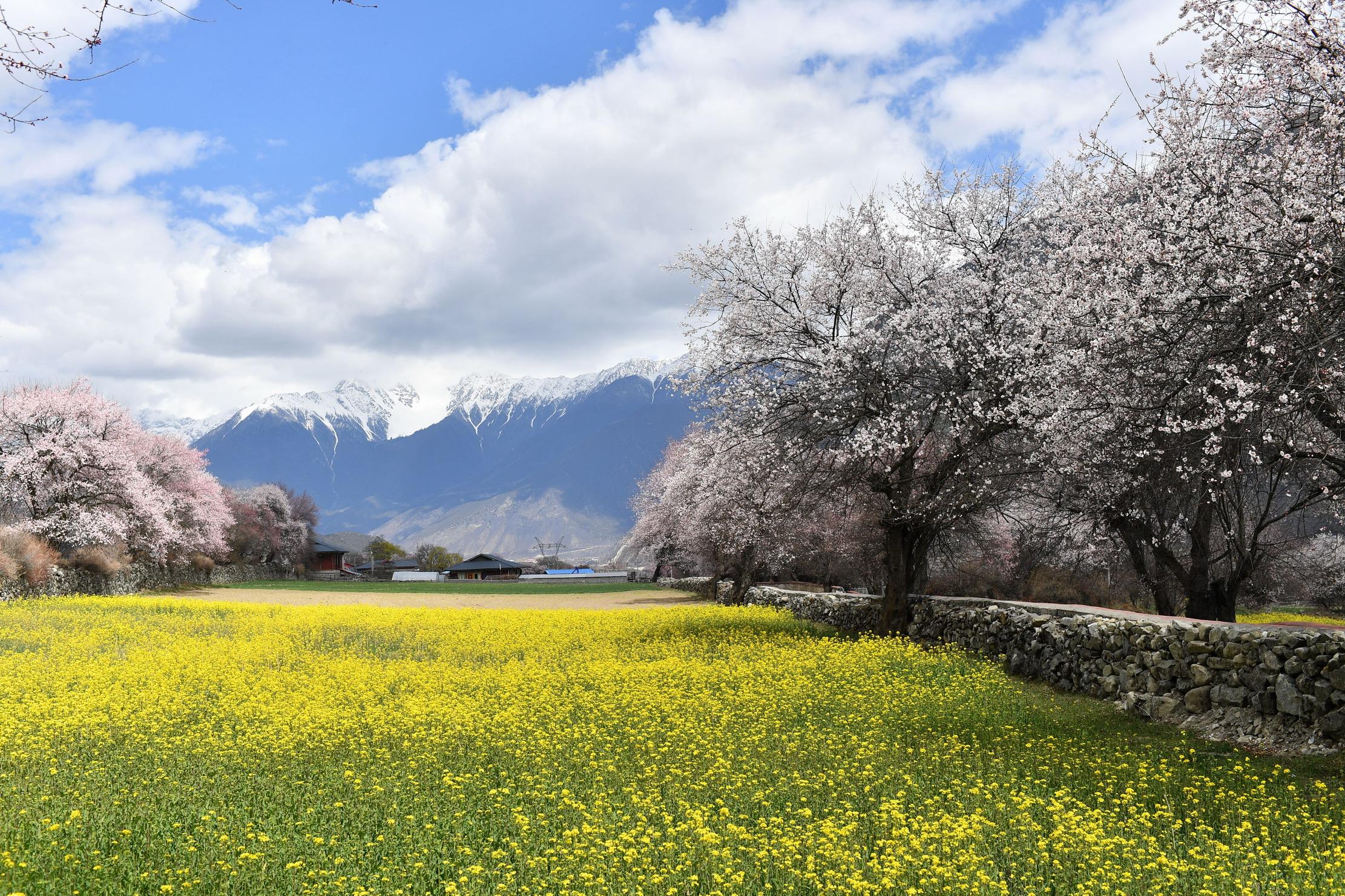 西藏林芝桃花盛开