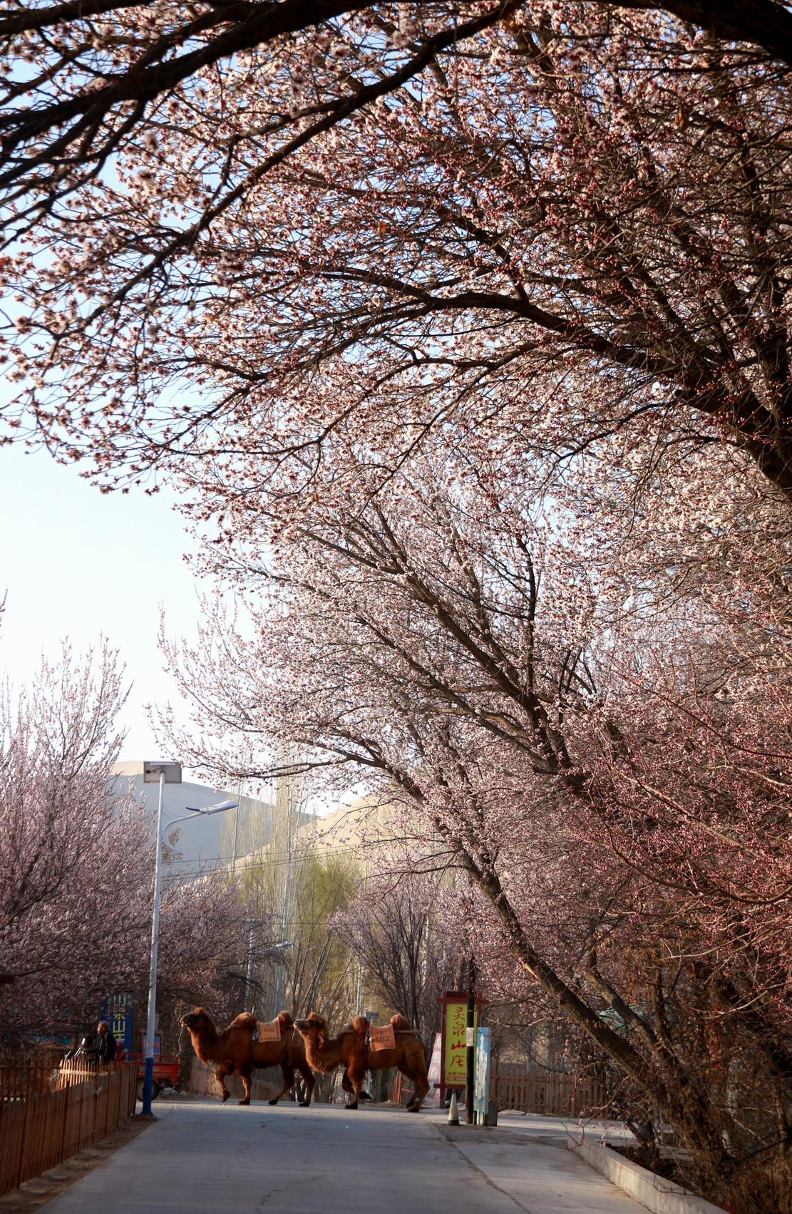 鸣沙山下杏花美