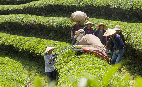 生态茶园助增收