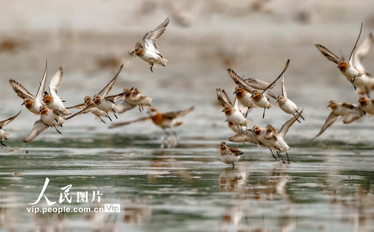 江苏东台:数十万迁徙候鸟云集条子泥湿地