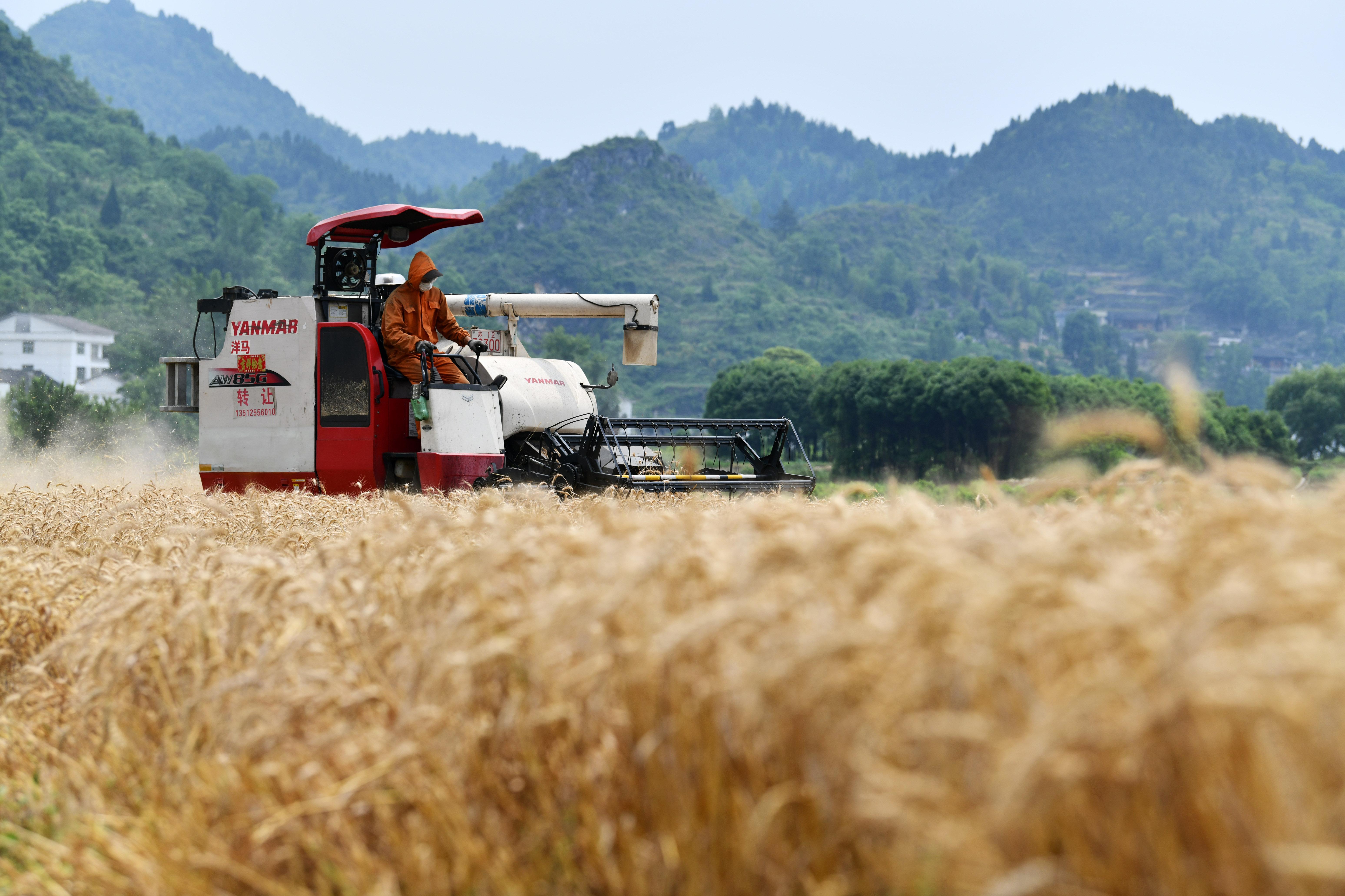 贵州思南:收获冬小麦