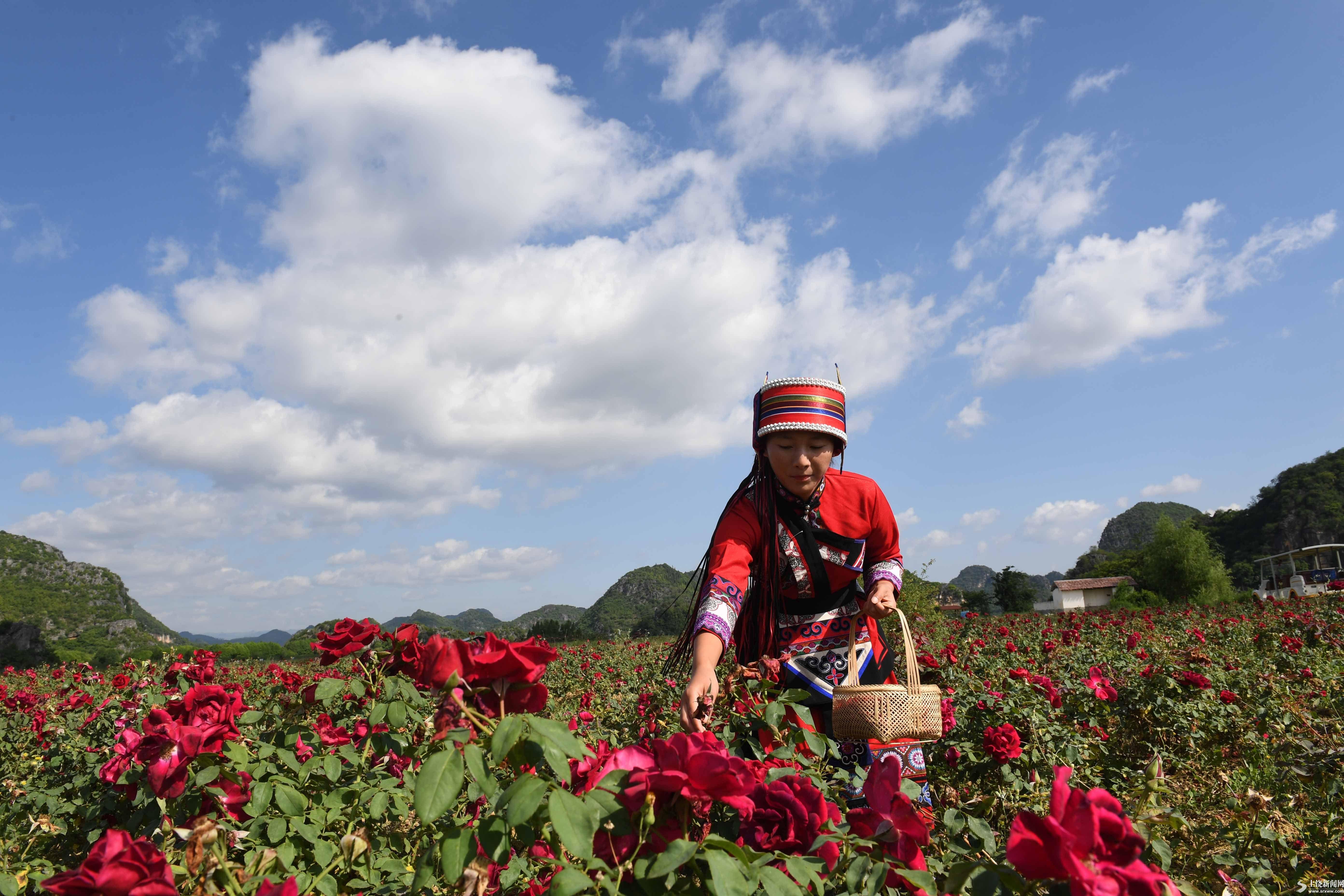 云南丘北:玫瑰花产业带动农民脱贫增收