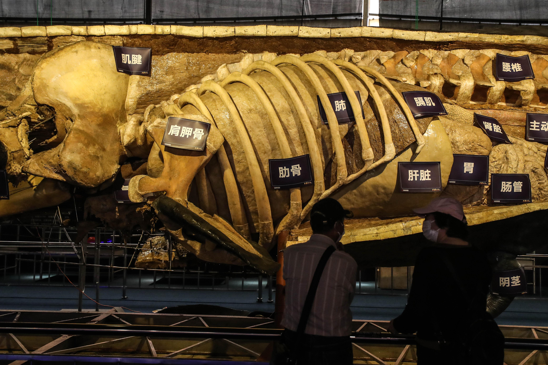 抹香鲸塑化标本大连展出