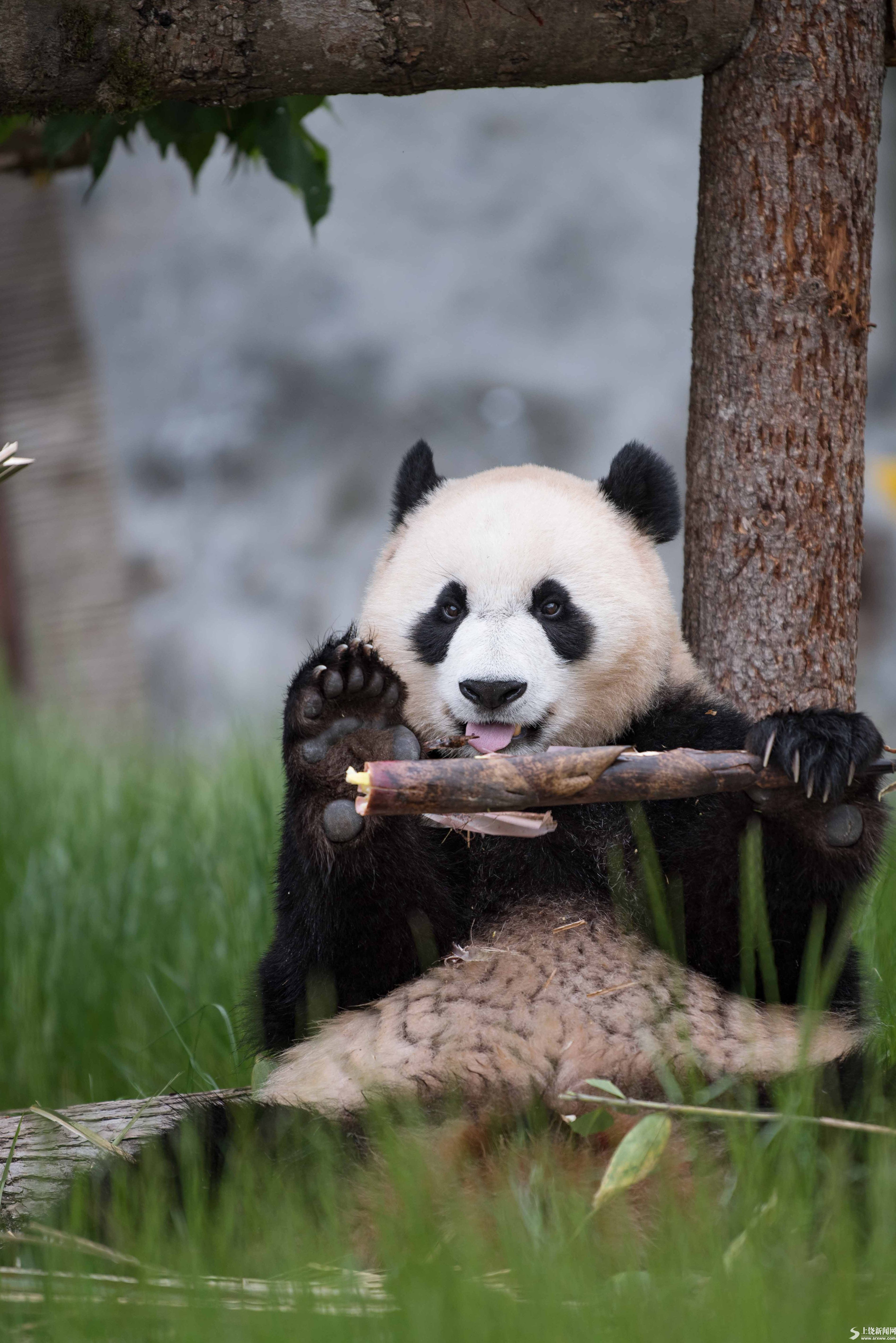 九寨沟大熊猫园开园迎客