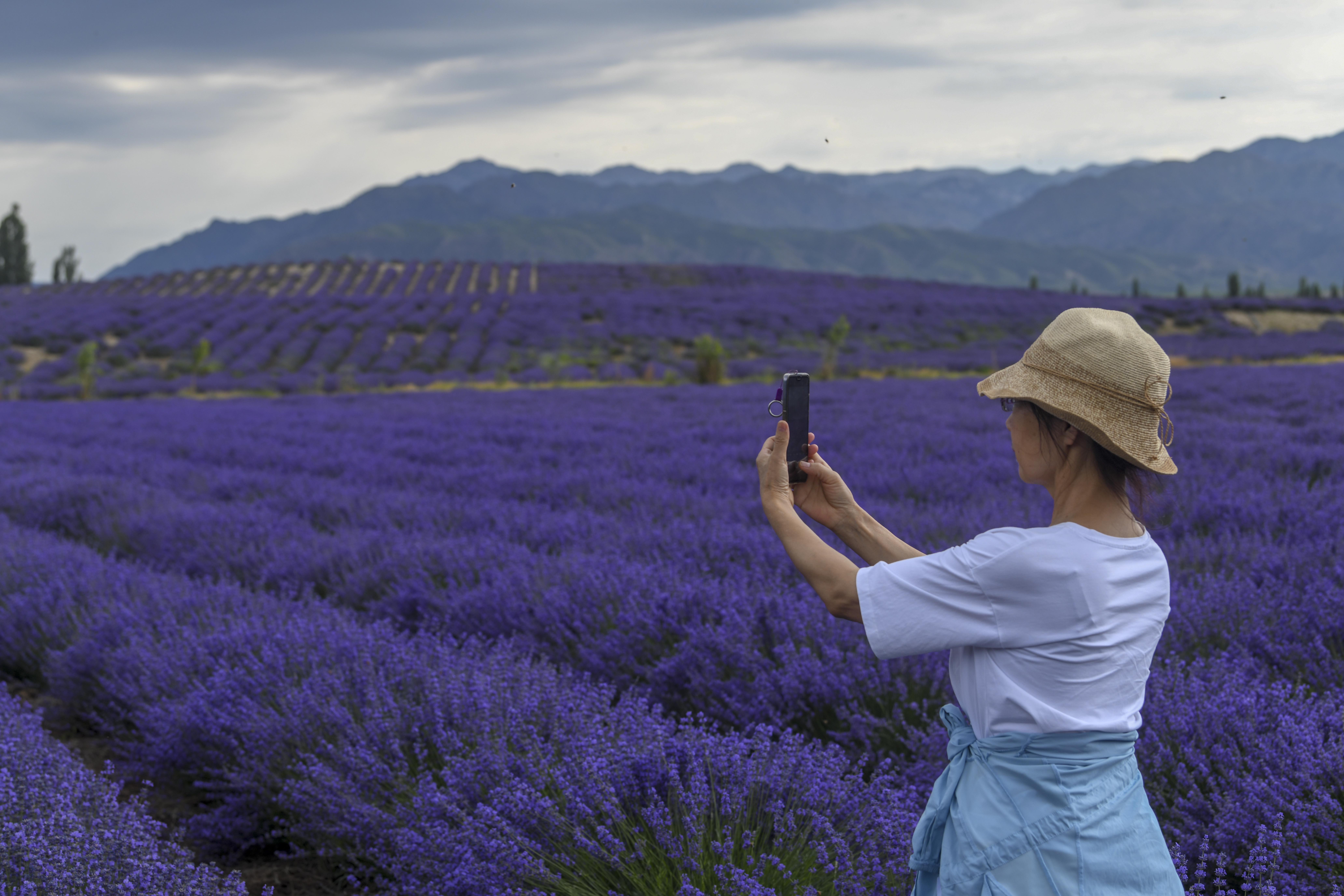 """新疆:""""紫色""""铺就致富路"""