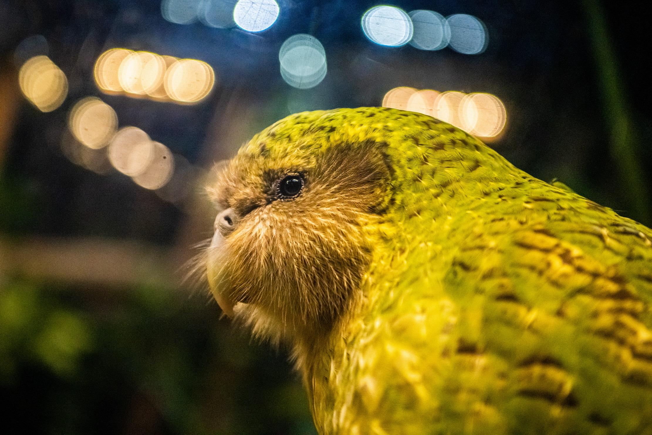 """鸮鹦鹉当选2020年新西兰""""年度鸟类"""""""
