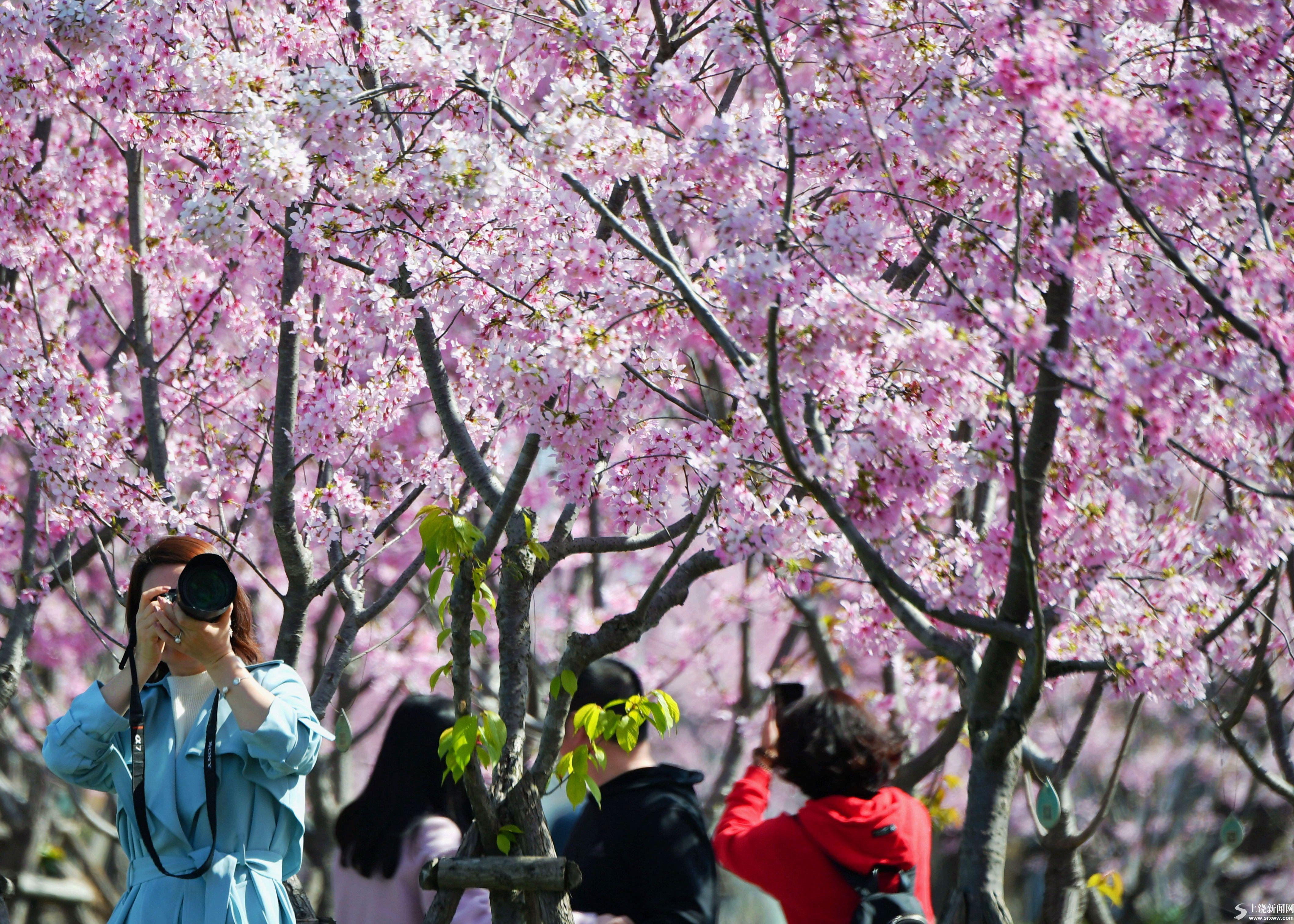满园樱花开 踏春正当时