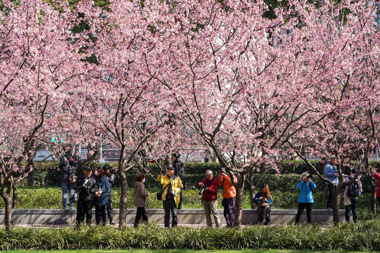 上海静安雕塑公园樱花绽放